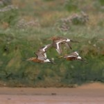 Black tailed Godwit Lossie estuary 11 Aug 2015 David Main