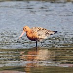 Black tailed Godwit Lossie estuary 15 July 2013 Gordon Biggs 2
