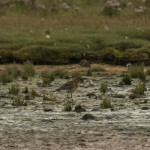 Black tailed Godwit Lossie estuary 4 Sept 2014 David Main