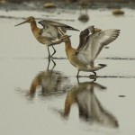 Black tailed Godwit Wester Delnies 4 Sept 2014 Seamus McArdle 1
