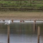 Black tailed Godwits Balormie pig farm 26 Apr 2015 David Main