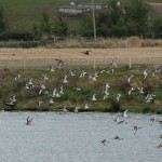 Black tailed Godwits Cloddach quarry 27 Sept 2014 Martin Cook 2P