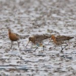 Black tailed Godwits Findhorn Bay 17 Jul 2016 Richard Somers Cocks