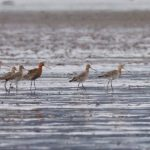 Black tailed Godwits Findhorn Bay 19 Apr 2018 Richard Somers Cocks 1