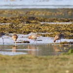 Black tailed Godwits Findhorn Bay 21 Apr Richard Somers Cocks