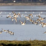 Black tailed Godwits Findhorn Bay 29 Oct 2014 Richard Somers Cocks