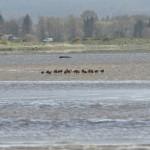 Black tailed Godwits Findhorn Bay 30 Apr 2015 Gordon McMullins