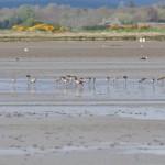 Black tailed Godwits Findhorn Bay 6 May 2015 Gordon McMullins