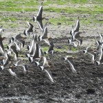 Black tailed Godwits Loch Spynie 6 Sept 2014 Martin Cook