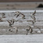 Black tailed and Bar tailed Godwits Findhorn Bay 15 May 2017 Richard Somers Cocks