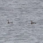 Black throated Divers Findhorn 5 Apr 2014 Richard Somers Cocks