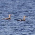Black throated Divers off Findhorn 25 Oct 2016 Richard Somers Cocks