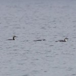Black throated Divers off Findhorn dunes 23 Mar 2016 Richard Somers Cocks