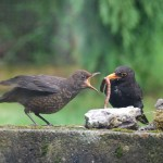Blackbird Auchinhandoch 10 June 2014 Fiona McHugh