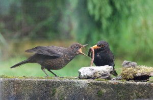 Blackbird, Auchinhandoch 10 June 2014 (Fiona McHugh)