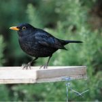 Blackbird Forres 8 Mar 2017 Allan Lawrence