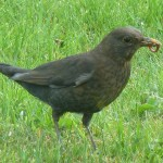 Blackbird Linkwood Elgin 24 Apr 2014 Bob Proctor