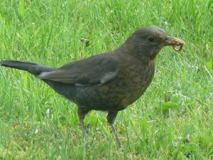 Blackbird, Linkwood, Elgin 24 Apr 2014 (Bob Proctor)