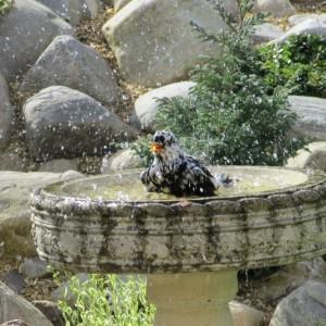 Blackbird, Longmorn 25 Apr 2014 (Brian Sheldon)
