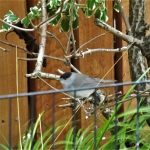 Blackcap 4 Jan 2017 Lisa Stewart
