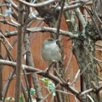 Blackcap Elgin 5 Feb 2017 Lisa Stewart