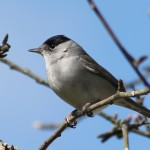 Blackcap Forres 21 Apr 2013 Alison Ritchie
