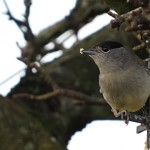 Blackcap Forres 30 Dec 2014 Alison Ritchie