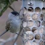 Blackcap Forres 8 Dec 2017 Alison Ritchie P