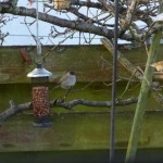 Blackcap Nairn 28 Dec 2014 Beryl Blackhall