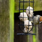 Blackcap female Bishopmill 10 Mar 2013 David Main