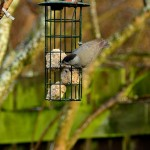 Blackcap male Bishopmill 13 Jan 2013 David Main