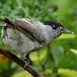 Blackcap near Craigellachie 14 Aug 2017 Robert Ince