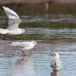 Bonapartes Gull Lossie estuary 9 Oct 2015 David Main 1