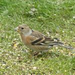 Brambling Darkland 28 Apr 2017 David Law P