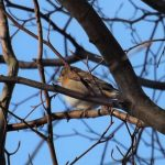 Brambling Elgin 6 Feb 2017 Lisa Stewart