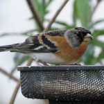 Brambling Forres 30 Mar 2017 Alison Ritchie