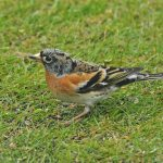 Brambling Lossiemouth 29 Apr 2017 Margaret Sharpe P