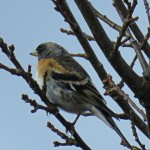 Brambling Moyness 3 Apr 2016 Alison Ritchie 2
