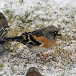 Brambling South Darkland 19 Jan 2013 David Law