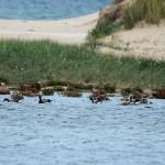Brent Geese Lossie estuary 14 Sept 2015 Gordon Biggs