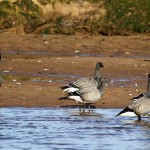 Brent Geese Lossie estuary 15 Oct 2014 Gordon Biggs