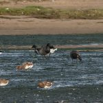 Brent Geese Lossie estuary 15 Oct 2017 David Main