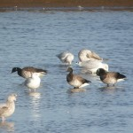 Brent Geese Lossie estuary 4 Oct 2014 Duncan Gibson