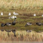 Brent Geese Lossie estuary 8 Oct 2014 David Main