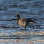 Brent Goose Findhorn Bay 24 Oct 2017 Richard Somers Cocks