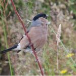 Bullfinch Kinloss 13 Jul 2017 Allan Lawrence