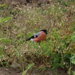 Bullfinch Kinloss 13 Jul 2017 Allan Lawrence 2