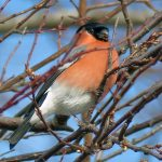 Bullfinch Loch Flemington 12 Feb 2017 Jack Harrison 1