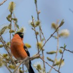 Bullfinch, Loch Spynie 10 Apr 2015 (David Main)