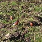Bullfinches Spynie Palace 16 Feb 2014 David Law